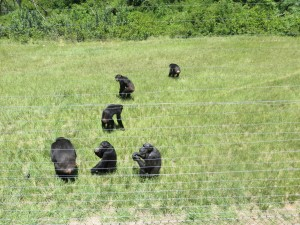 Chimps wandering over for a snack
